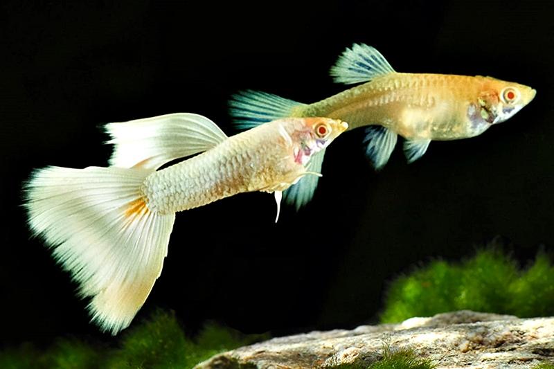 1Paar-Guppy-Albino-Full-White-Platinium