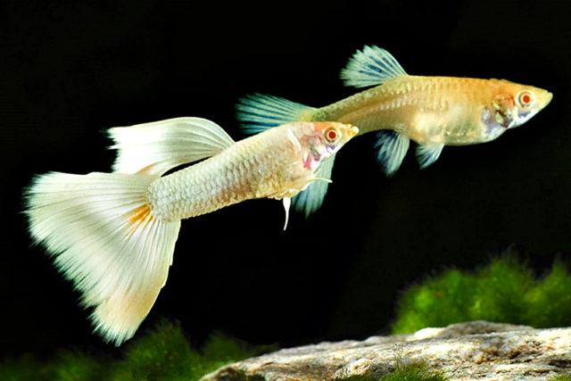 1Paar-Guppy-Albino-Full-White-Platinium-5