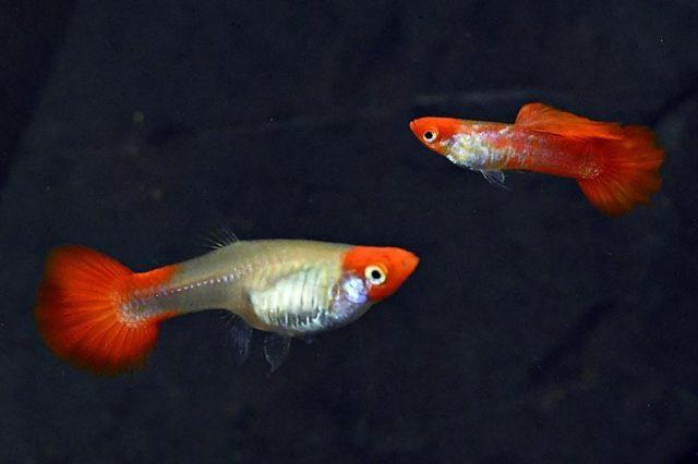 1Paar Guppy Albino Koi red ear / Poecilia reticulata