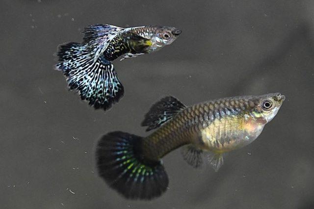 1Paar Guppy Blaue Dragon / Poecilia reticulata