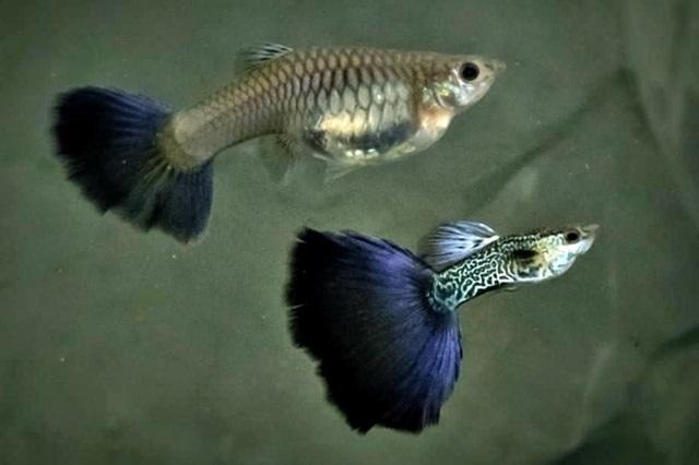 1Paar Guppy Filigran Blau / Poecilia reticulata