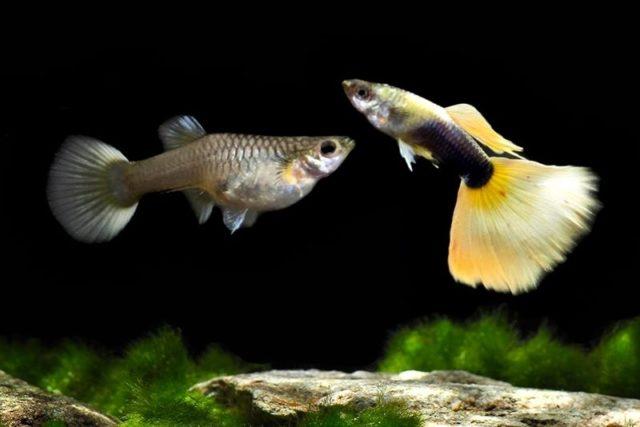 1Paar Guppy Grau halbschwarz gelb / Poecilia reticulata