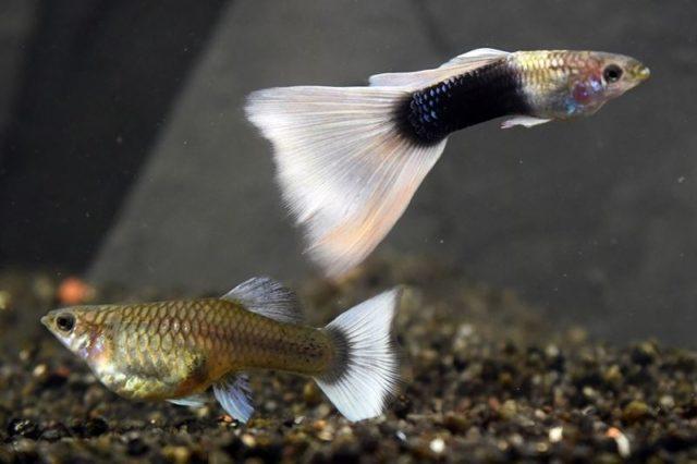 1Paar Guppy Grau halbschwarz weiß / Poecilia reticulatata