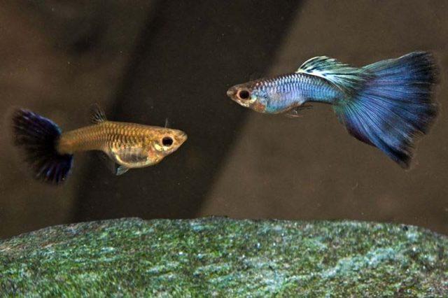 1Paar Guppy Japanblau blau / Poecilia reticulata