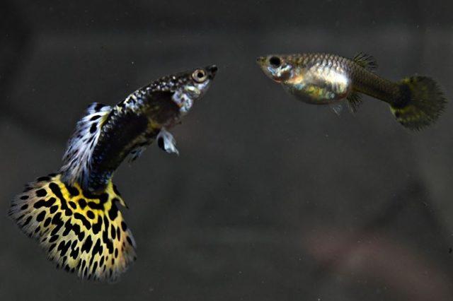 1Paar Guppy Leopard gelb / Poecilia reticulata