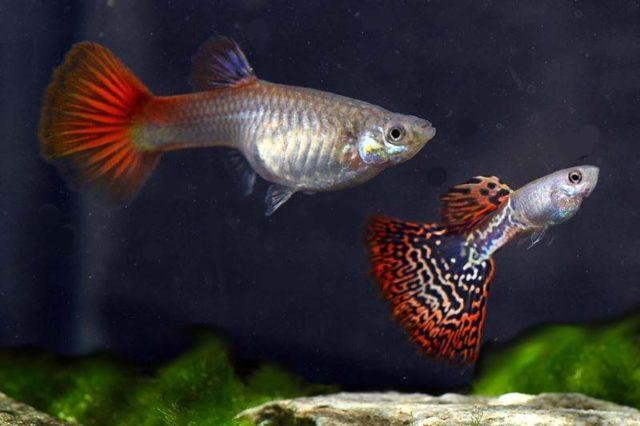 1Paar Guppy Moskau halbfiligran rot / Poecilia reticulata