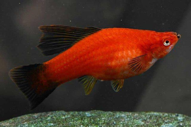 Schwerträger rot wagtail Hochflosser / Xipophorus helleri