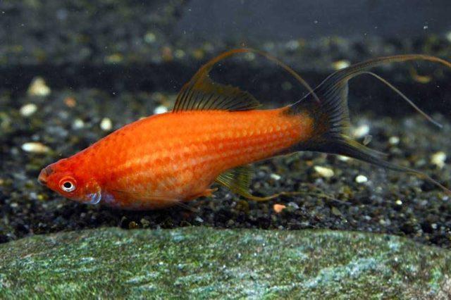 Schwerträger rot wagtail lyratail / Xipophorus helleri