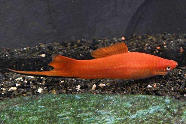 Schwertträger rot / Xipophorus helleri