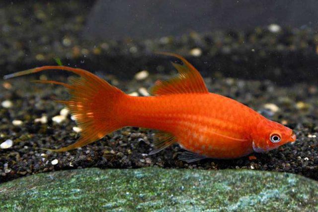 Schwertträger rot lyratail / Xipophorus helleri