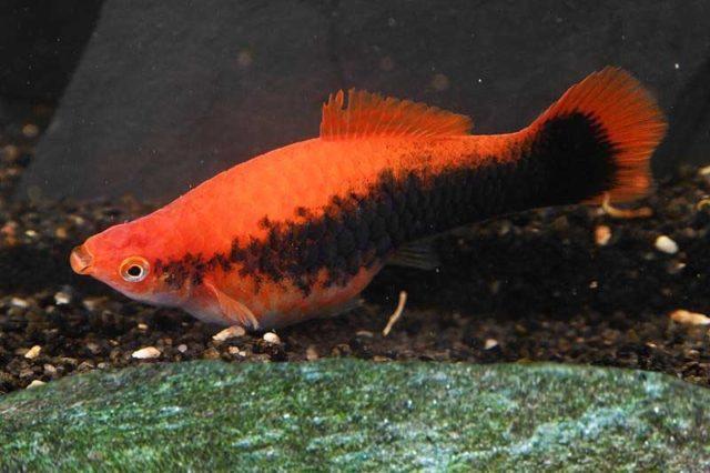 Schwertträger rot tuxedo / Xipophorus helleri